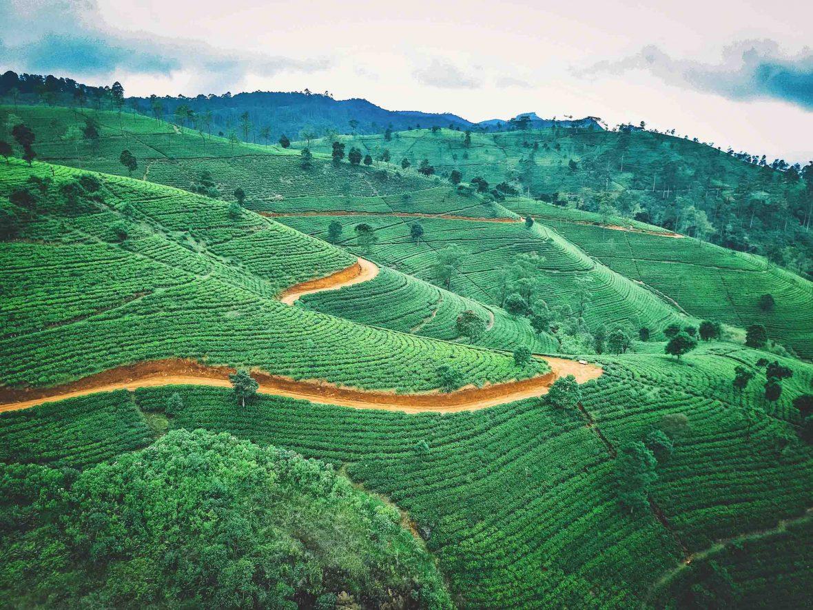 Tea plantations in Sri Lanka.