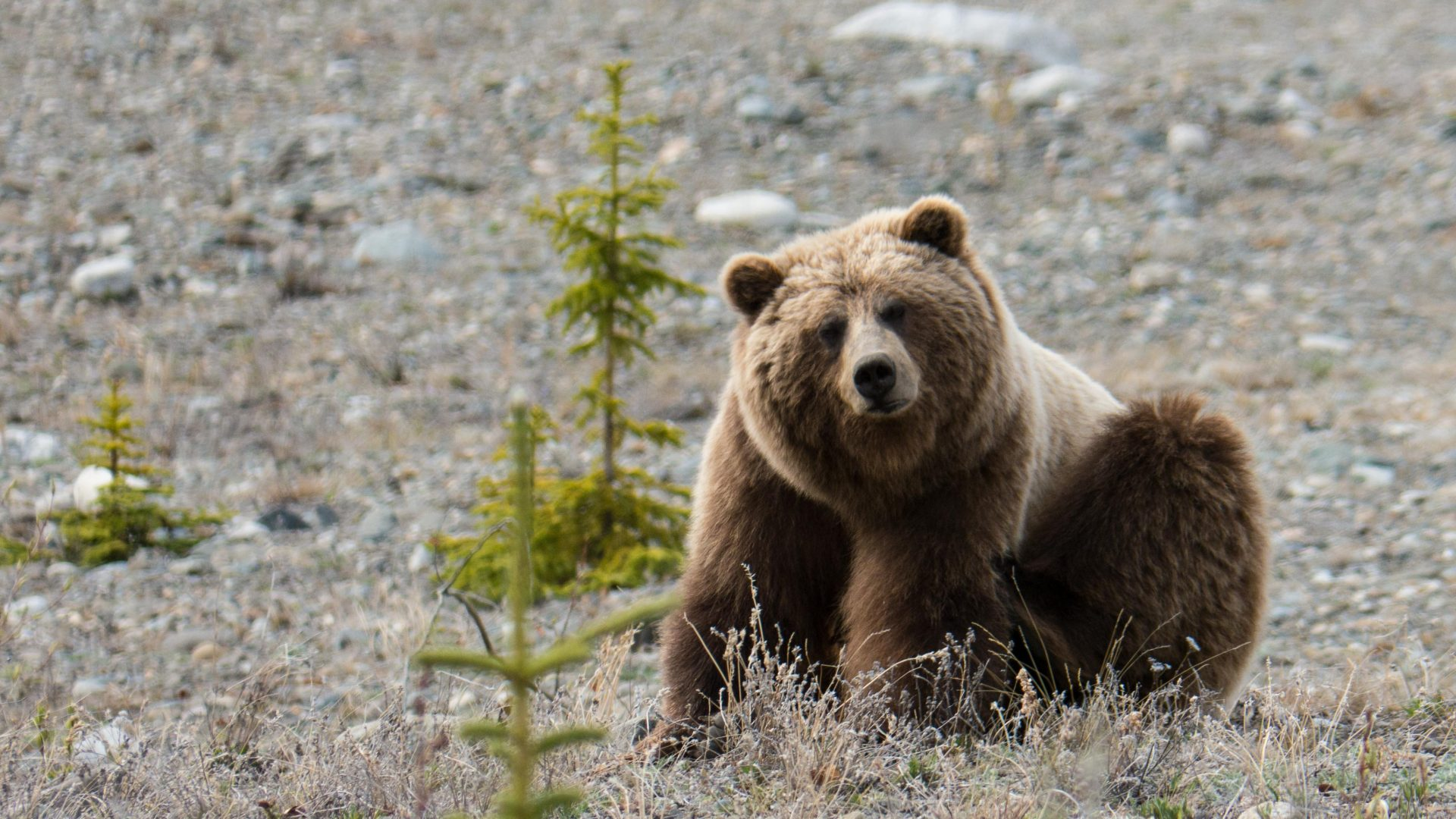 Doris the bear, Yukon Territory.