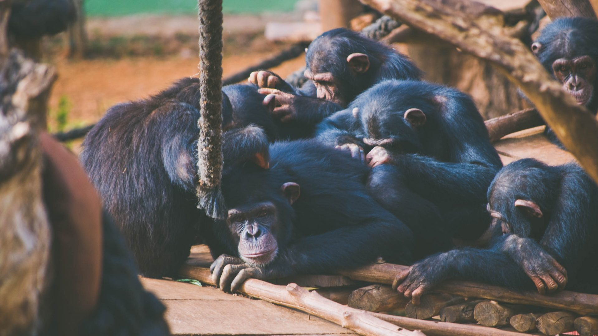 Chimps groom each other at the Tacugama Chimpanzee Sanctuary in Sierra Leone.