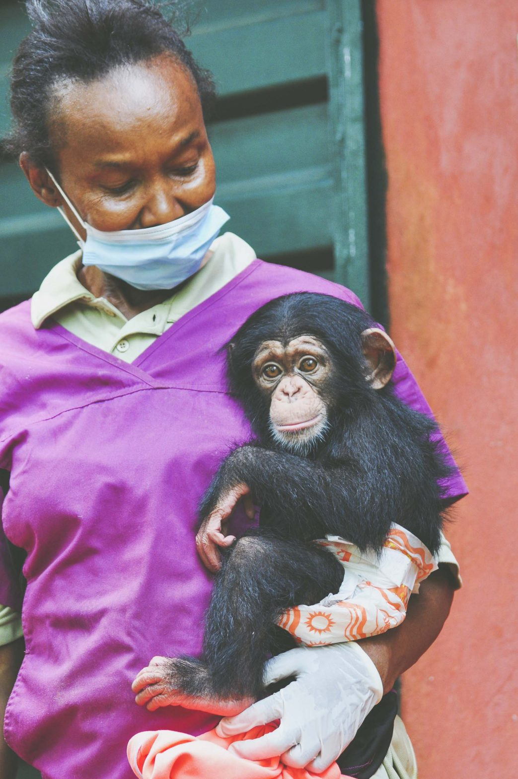 Surrogate human mum Mama P nurtures seven-month-old baby Caesar at Tacugama Chimpanzee Sanctuary near Freetown