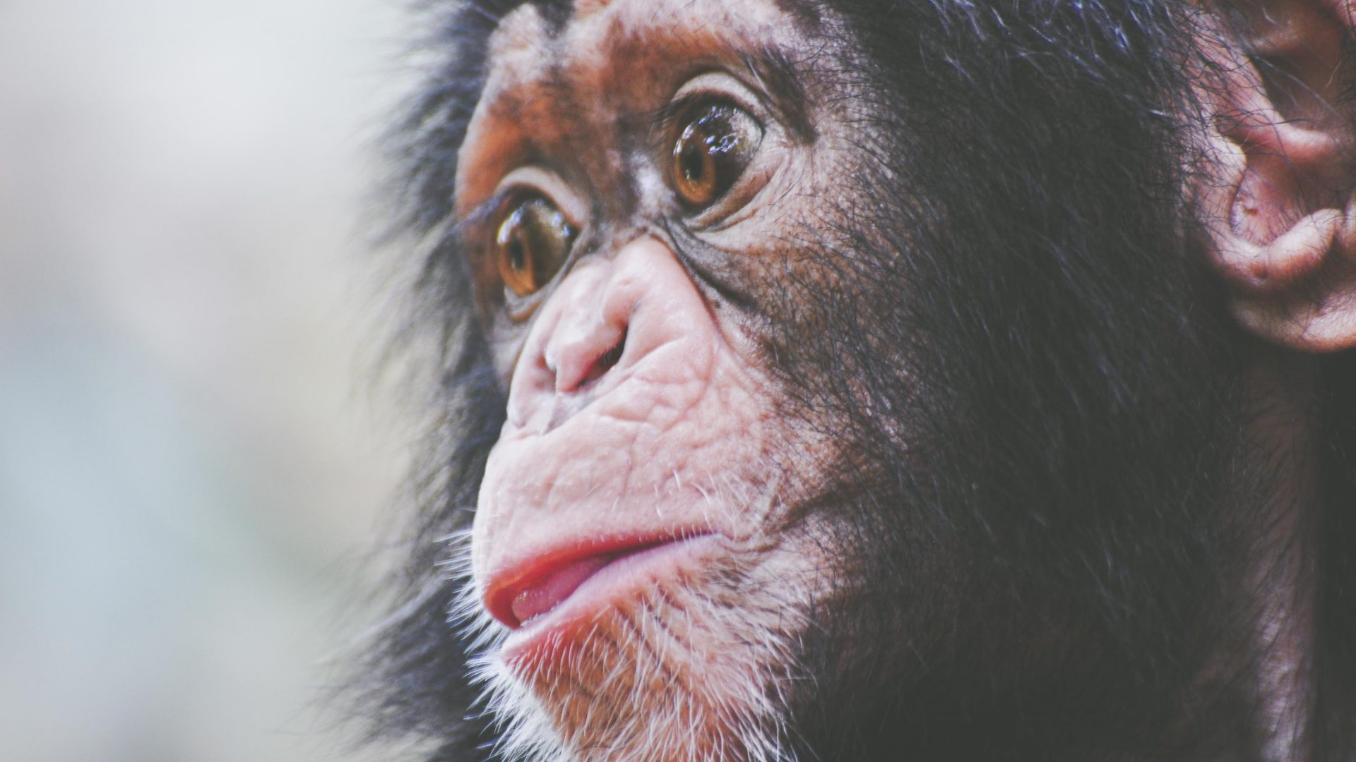 Baby Caesar at Tacugama Chimpanzee Sanctuary.