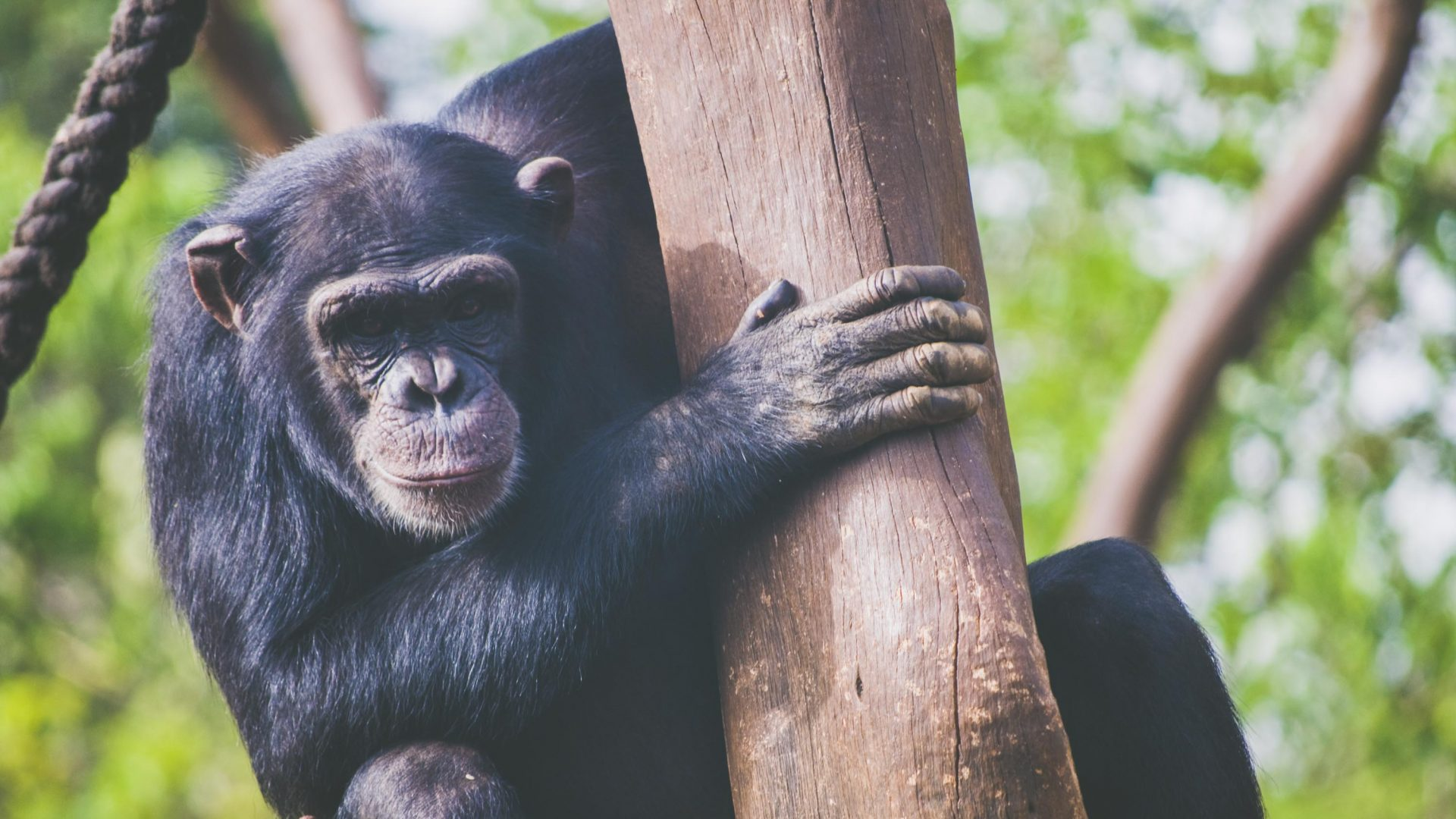 A chimp at the Tacugama Chimpanzee Sanctuary, Sierra Leone.