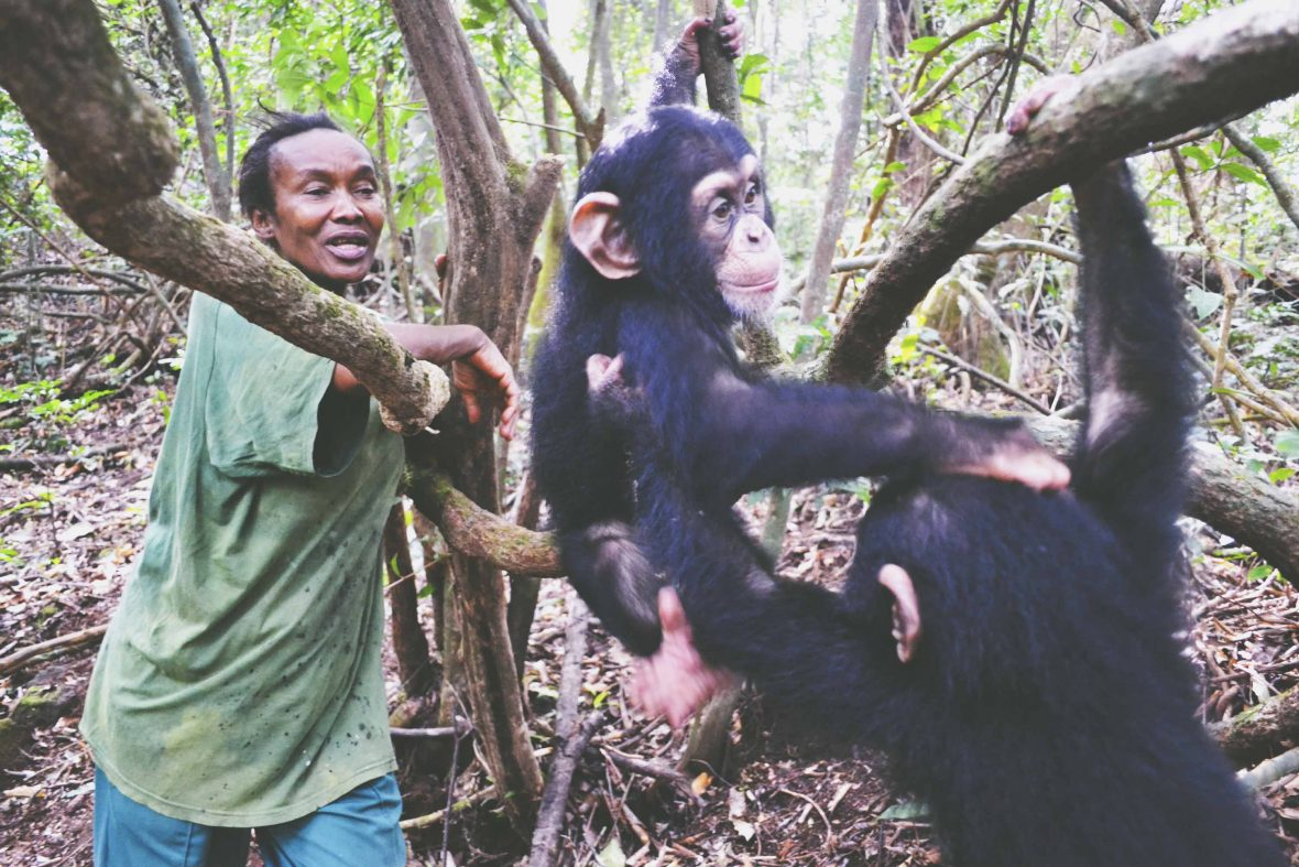 Staff interact with chimps at the Tacugama Chimpanzee sanctuary, Sierra Leone.