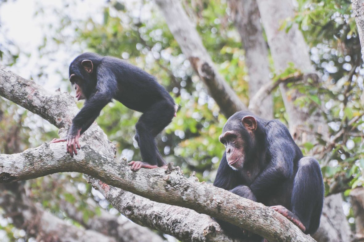 Chimps play together at Tacugama Chimpanzee Sanctuary, Sierra Leone.