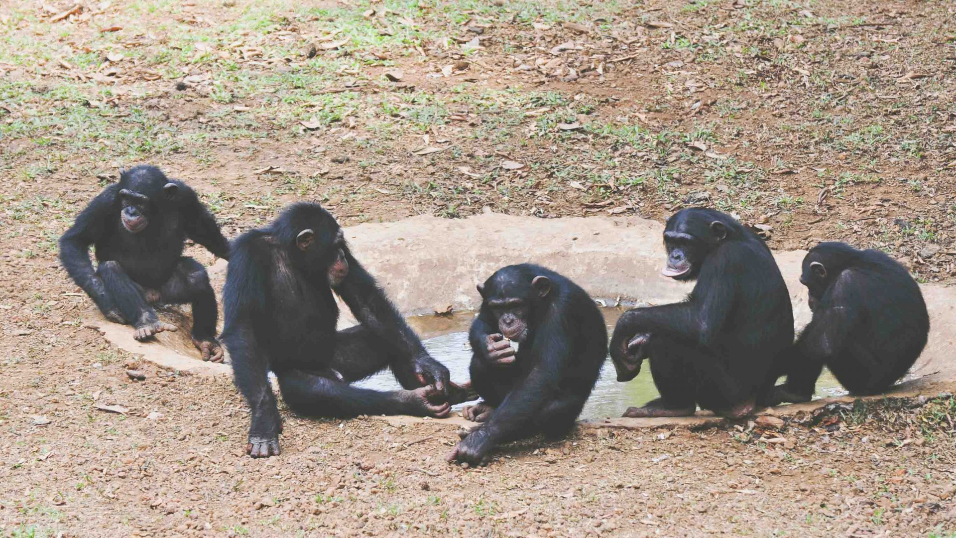 Chimps sit together at the Tacugama Chimpanzee sanctuary, Sierra Leone.