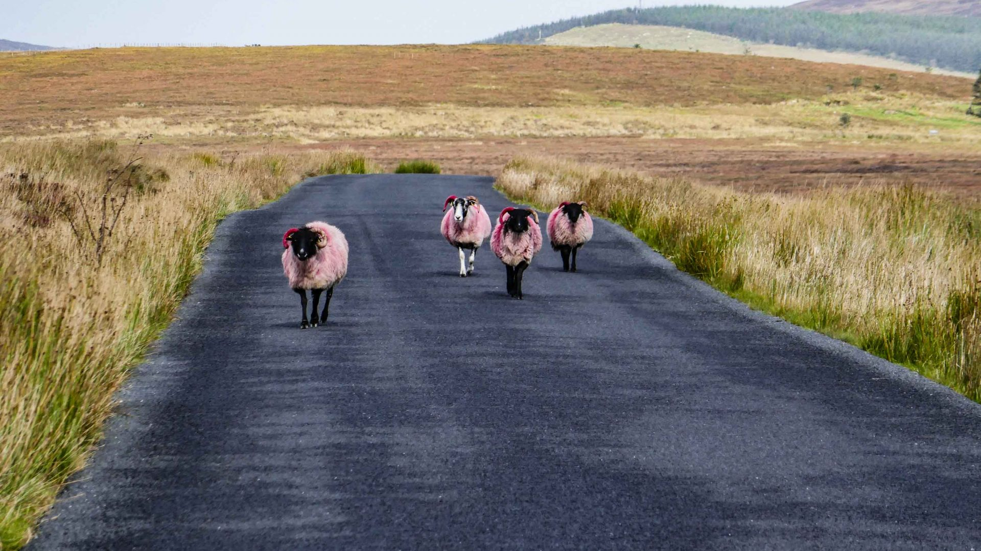 Sheep on the road nearing Malin.