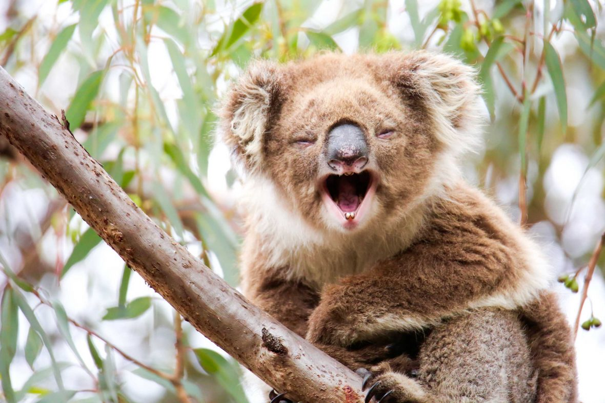 Travelers can track koalas with a koala researcher and seek out other species with Echidna Walkabout Nature Tours, the primary supporter of the Koala Clancy Foundation.
