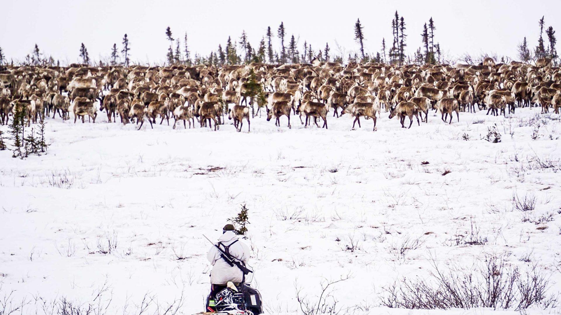 Reindeer herder Tony Lalong herds reindeer from his Ski-Doo in Canada's Northwest Territories.