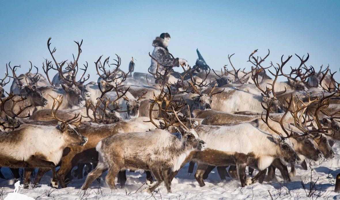 Reindeer being herded in Canada's Northwest Territories.