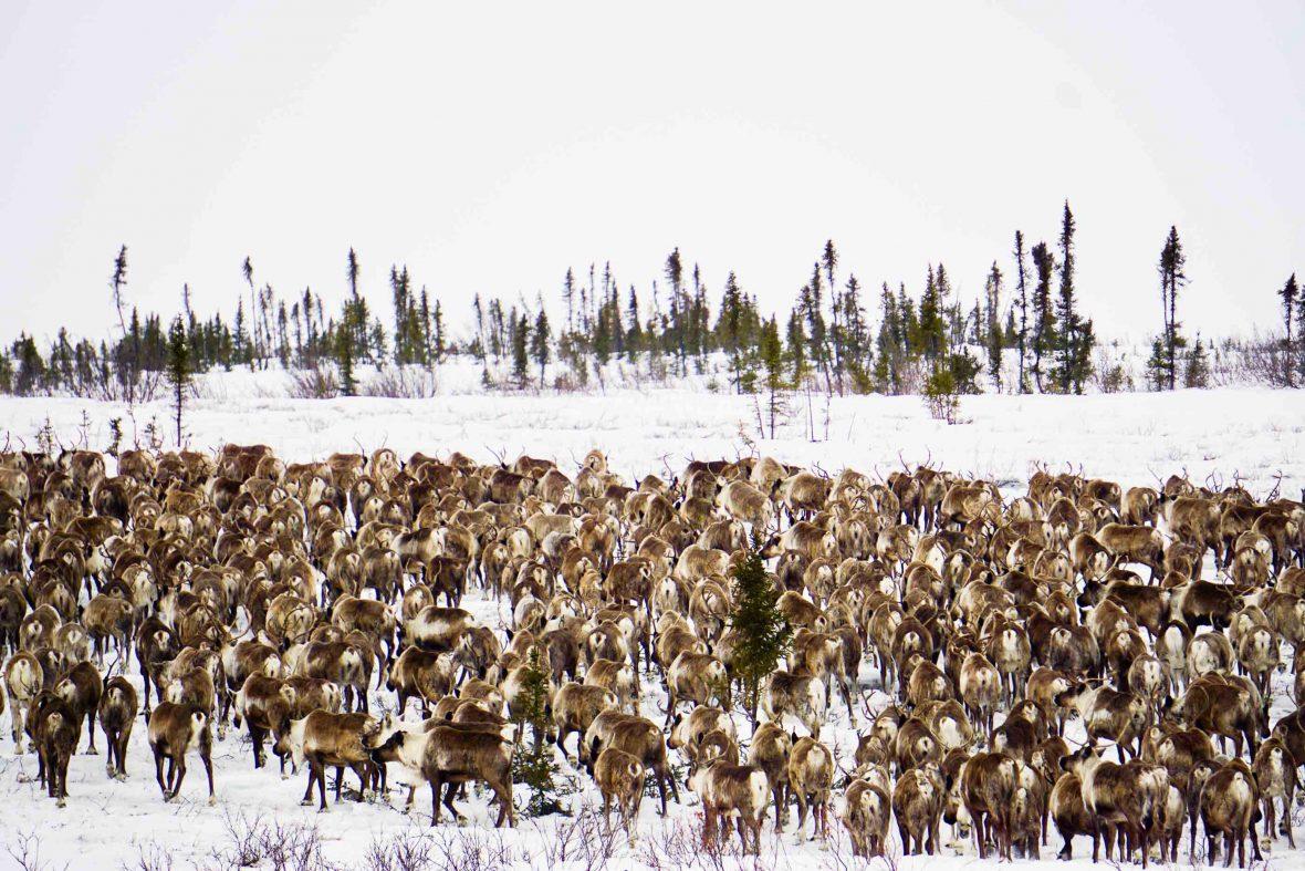 Reindeer in Canada's Northwest Territories.