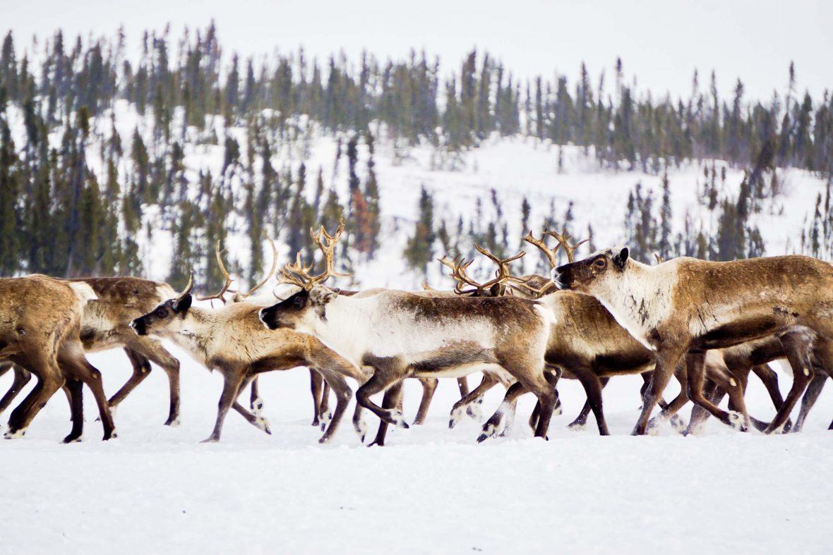 Reindeer herd in Canada's Northwest Territories.