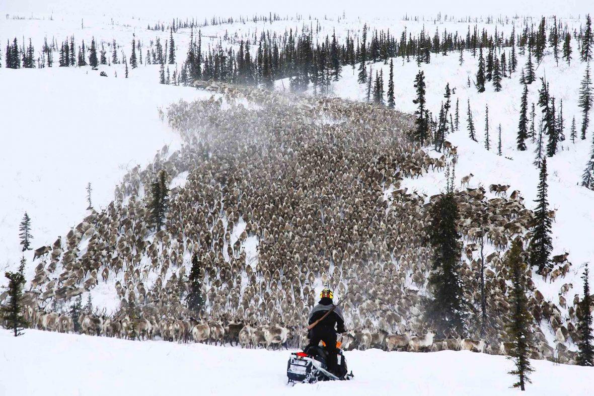 Using Ski-doos, travelers can see the reindeer in Canada's Northwest Territories.