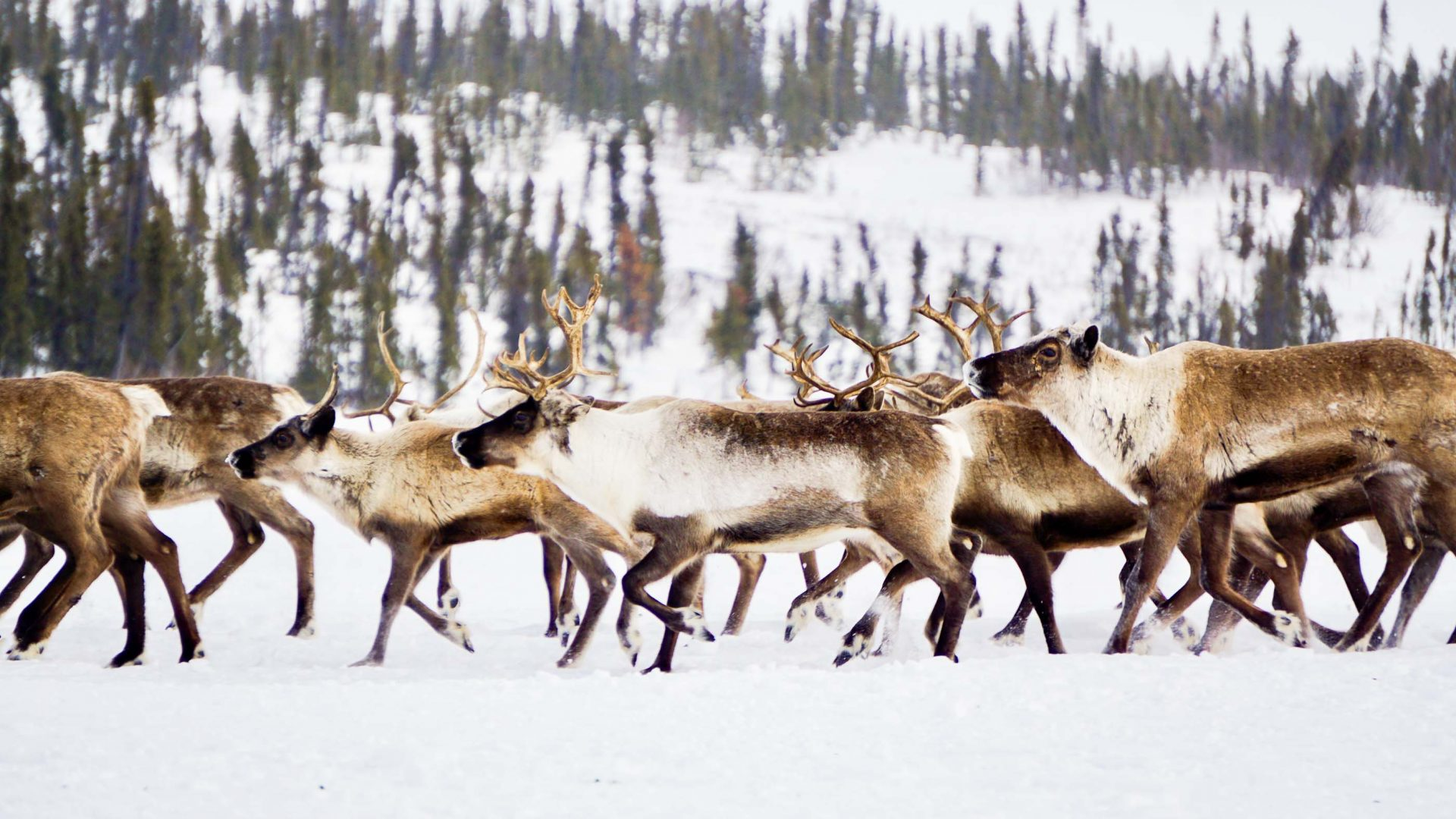 From 'unwanted' relics to tourist attractions: Can travelers help save Canada's only reindeer herd?