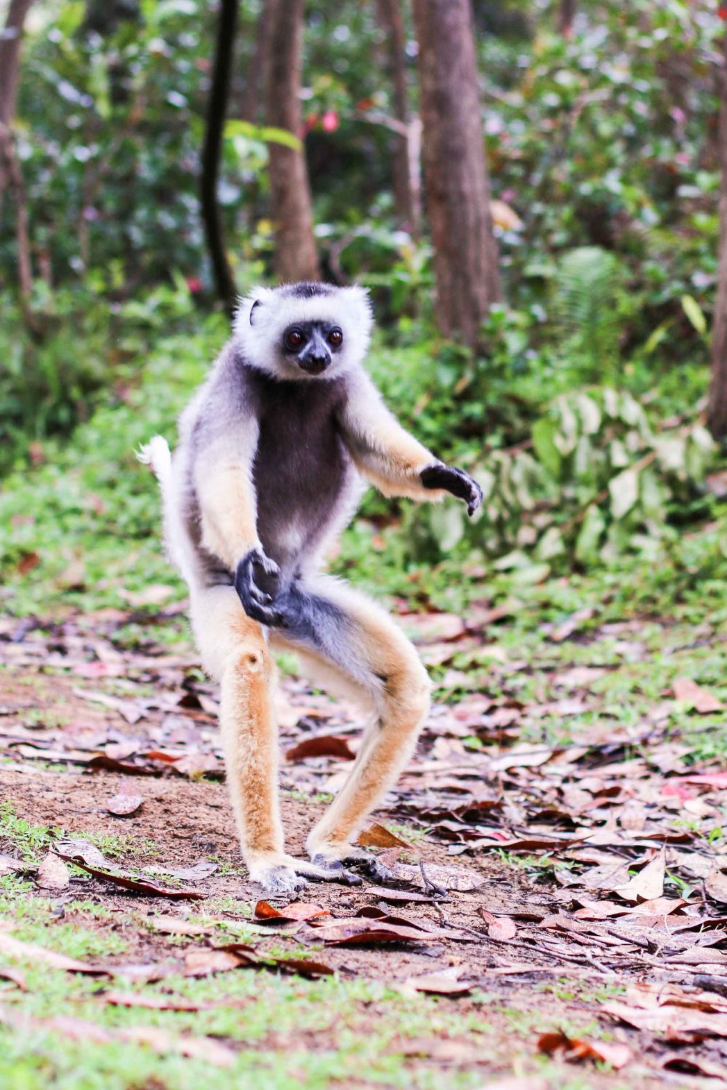 A diademed sifaka in Andasibe-Mantadia National Park, eastern Madagascar.
