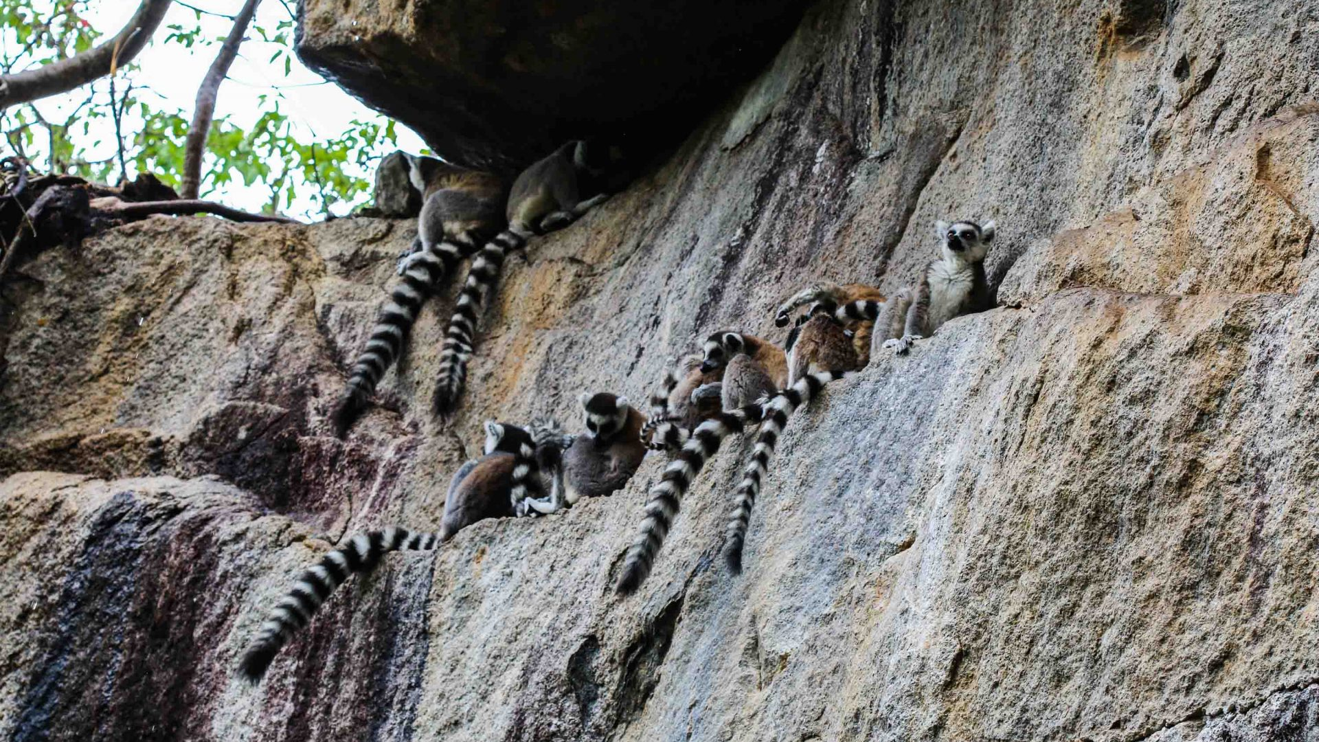 Ring-tailed lemurs in community-owned Anja Reserve.