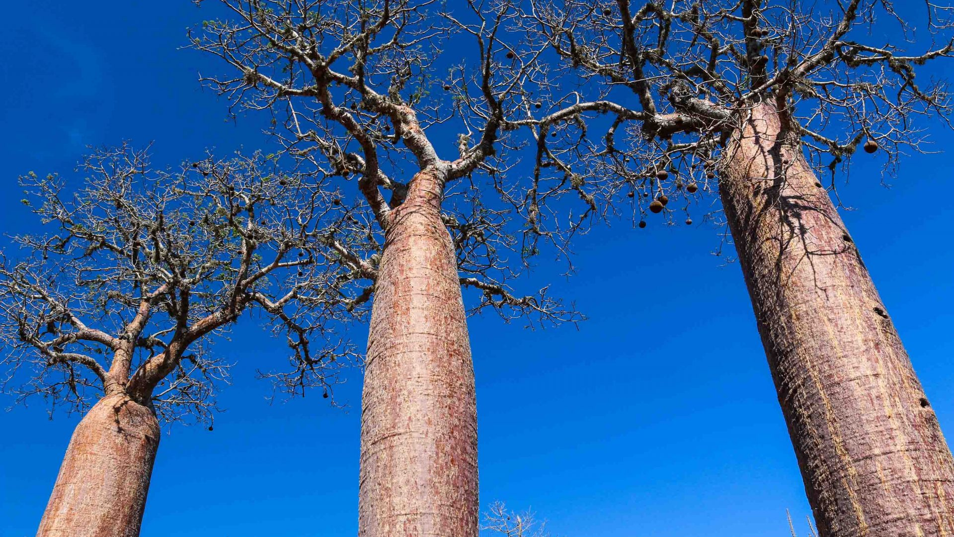 Baobab trees in the spiny forests of Ifaty, southwestern Madagascar.