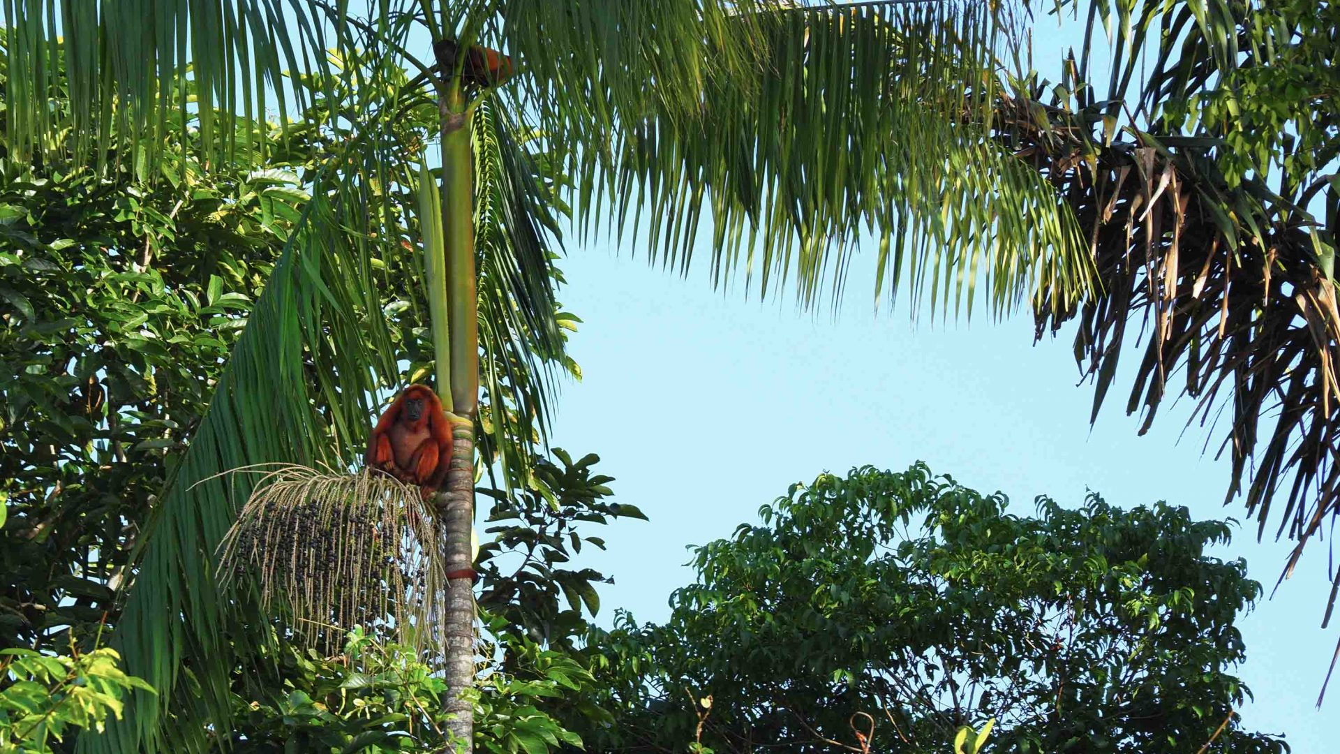 A red howler monkey hangs out alongside the Essequibo River, Guyana's largest river.