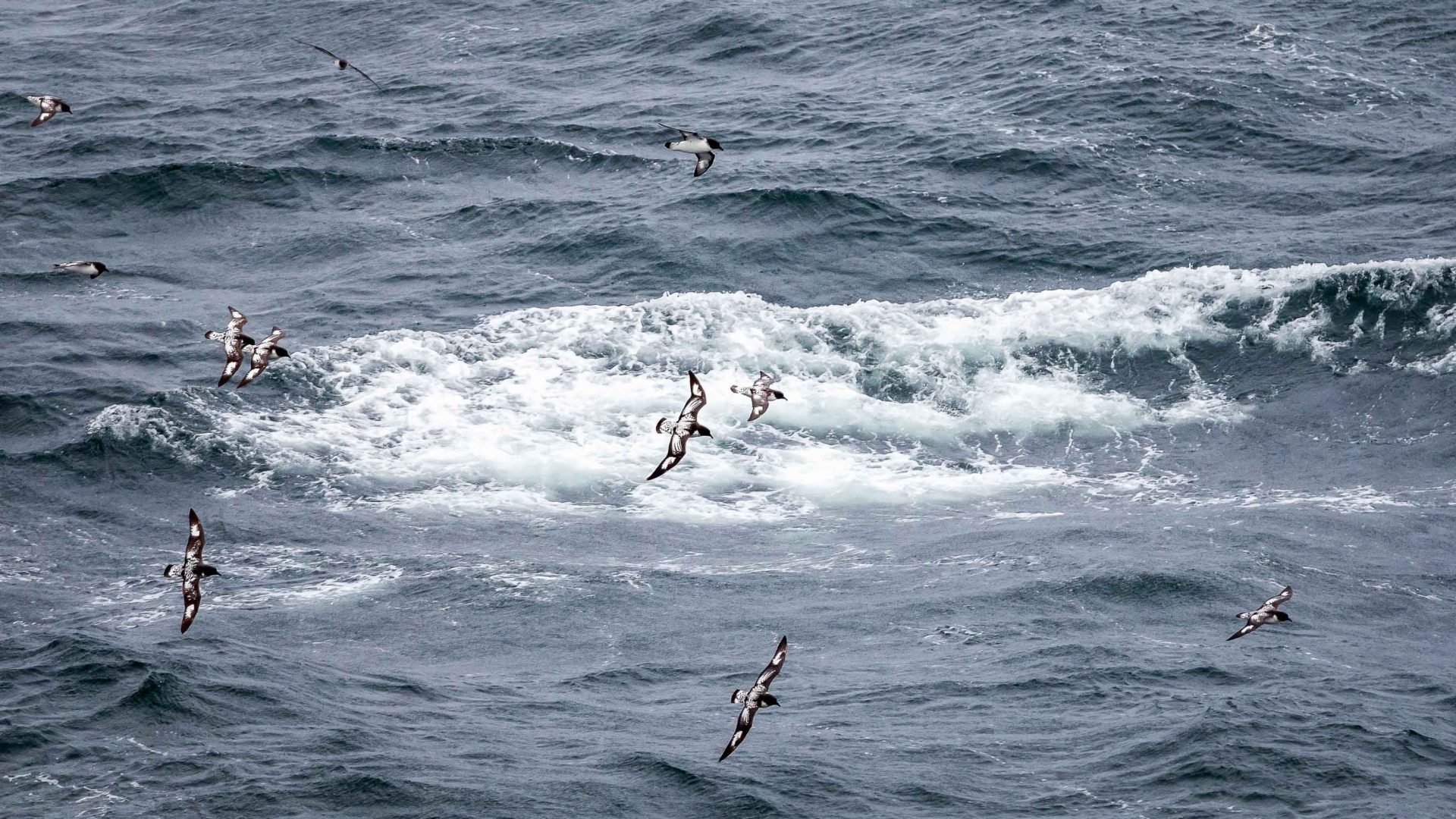 Birds at sea during the Antarctica cruise.