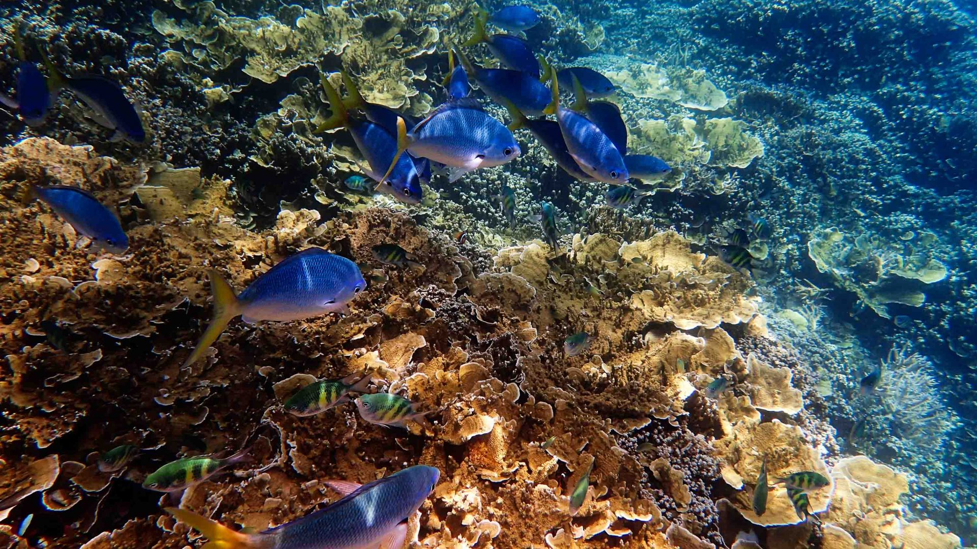 Vibrant blue fish at the Great Barrier Reef.