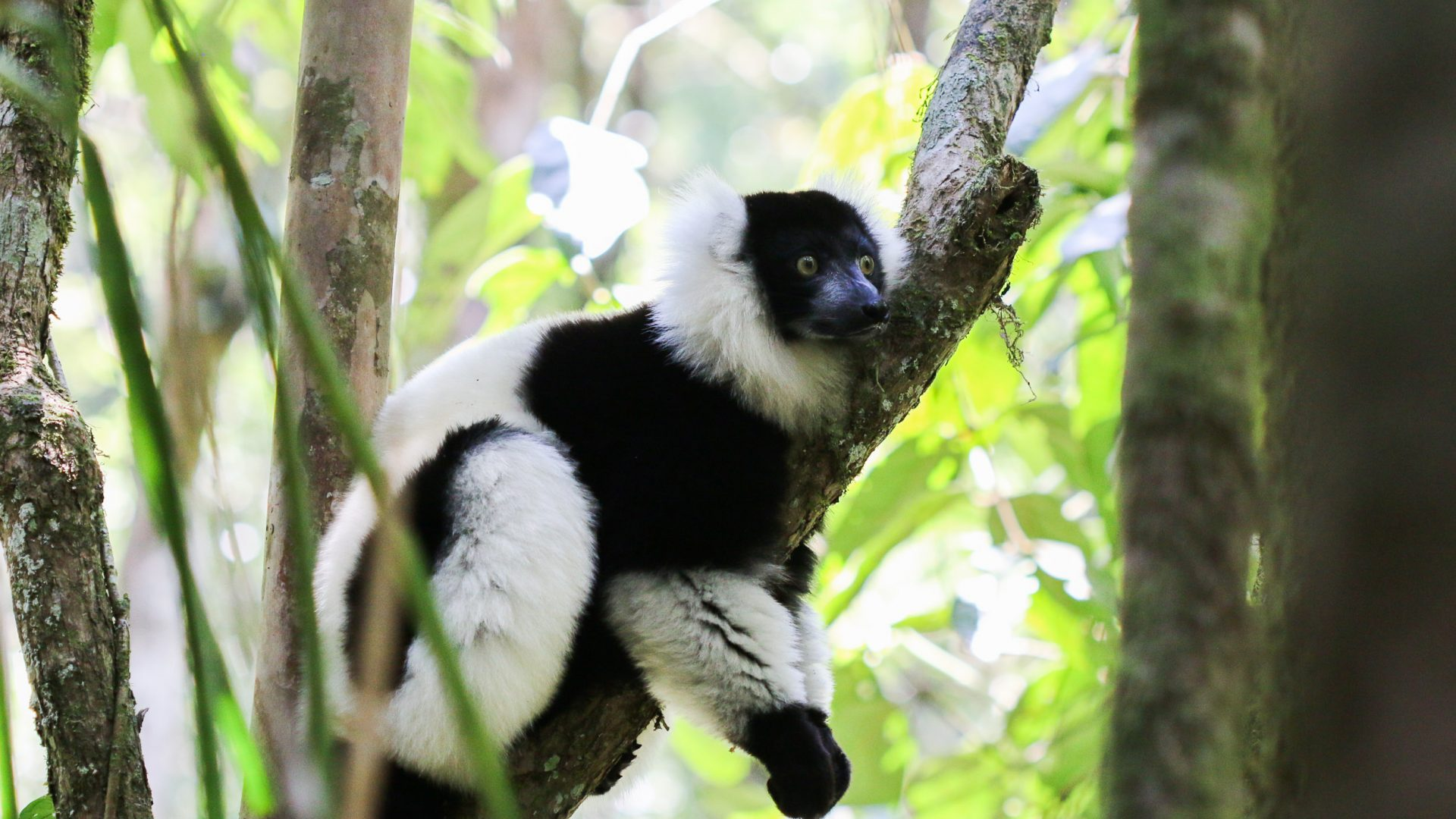 A black-and-white ruffed lemur in Ranomafana National Park.