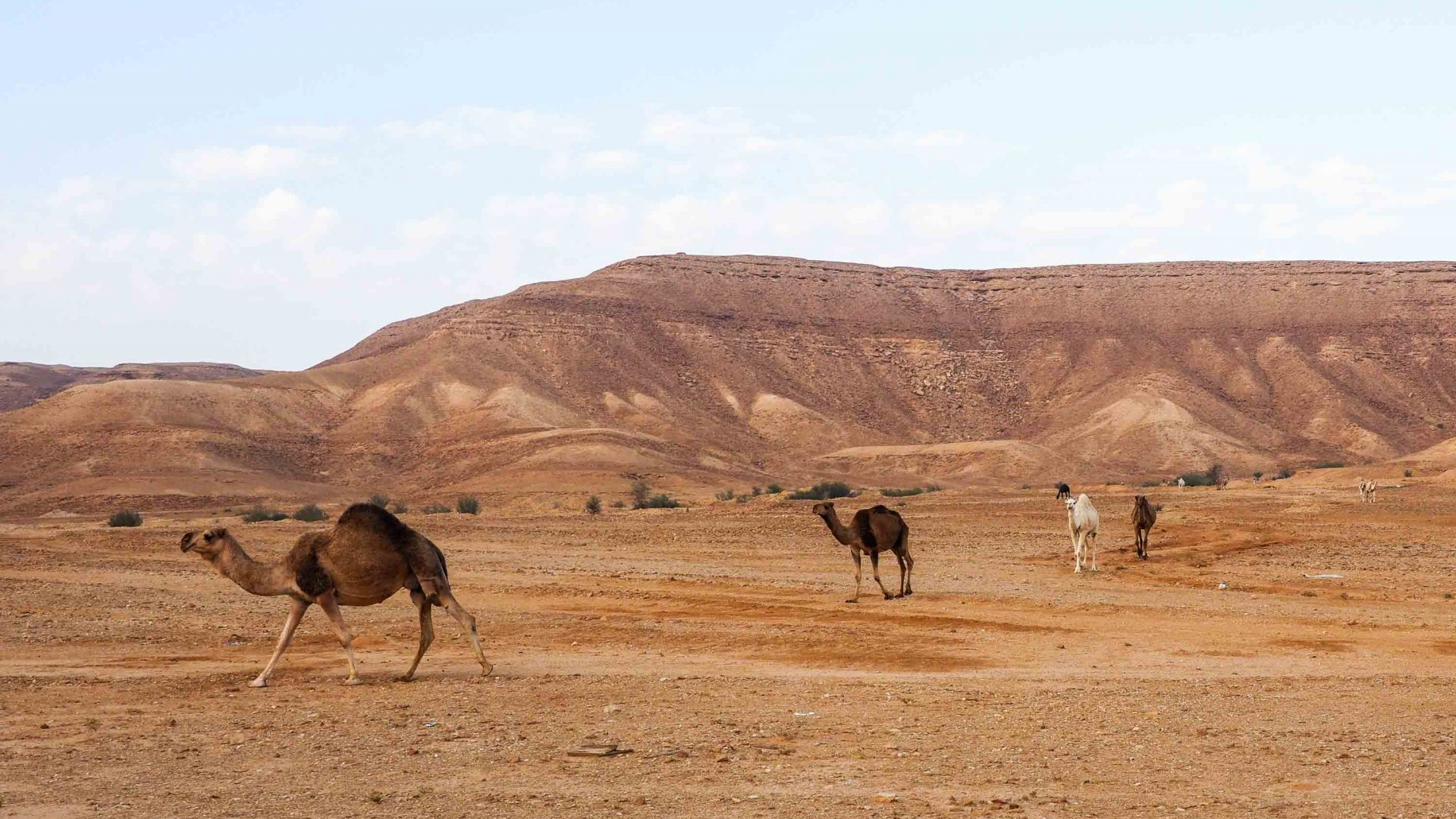 Camels en route to Jebel Fihrayn or the 'Edge of the World'.