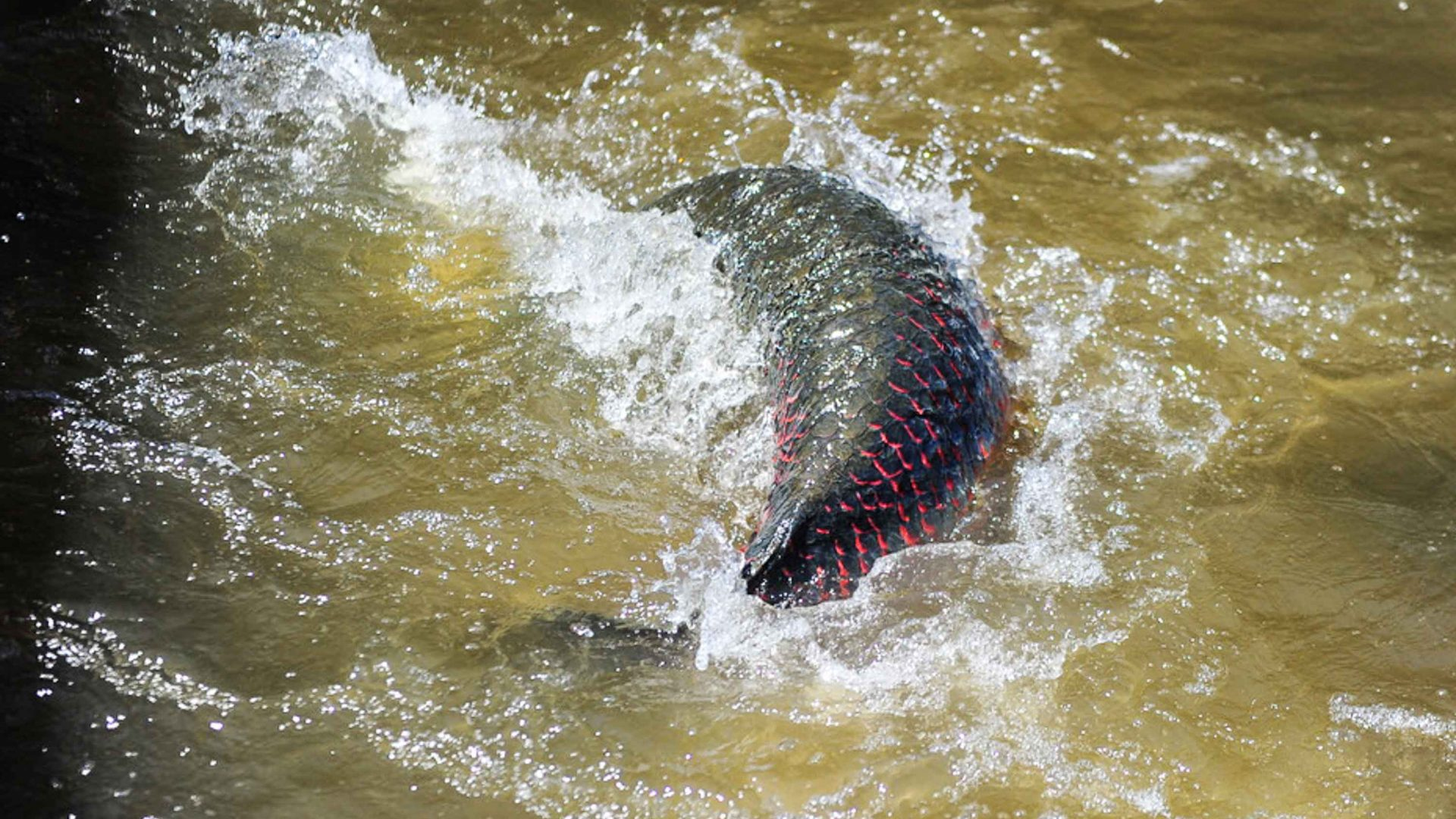 An arapaima fish in the Amazon river.