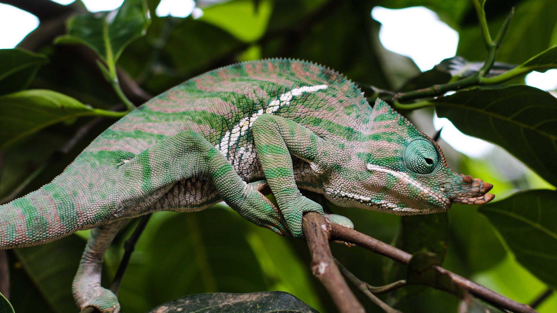 Parsons Chameleon, Ranomafana.