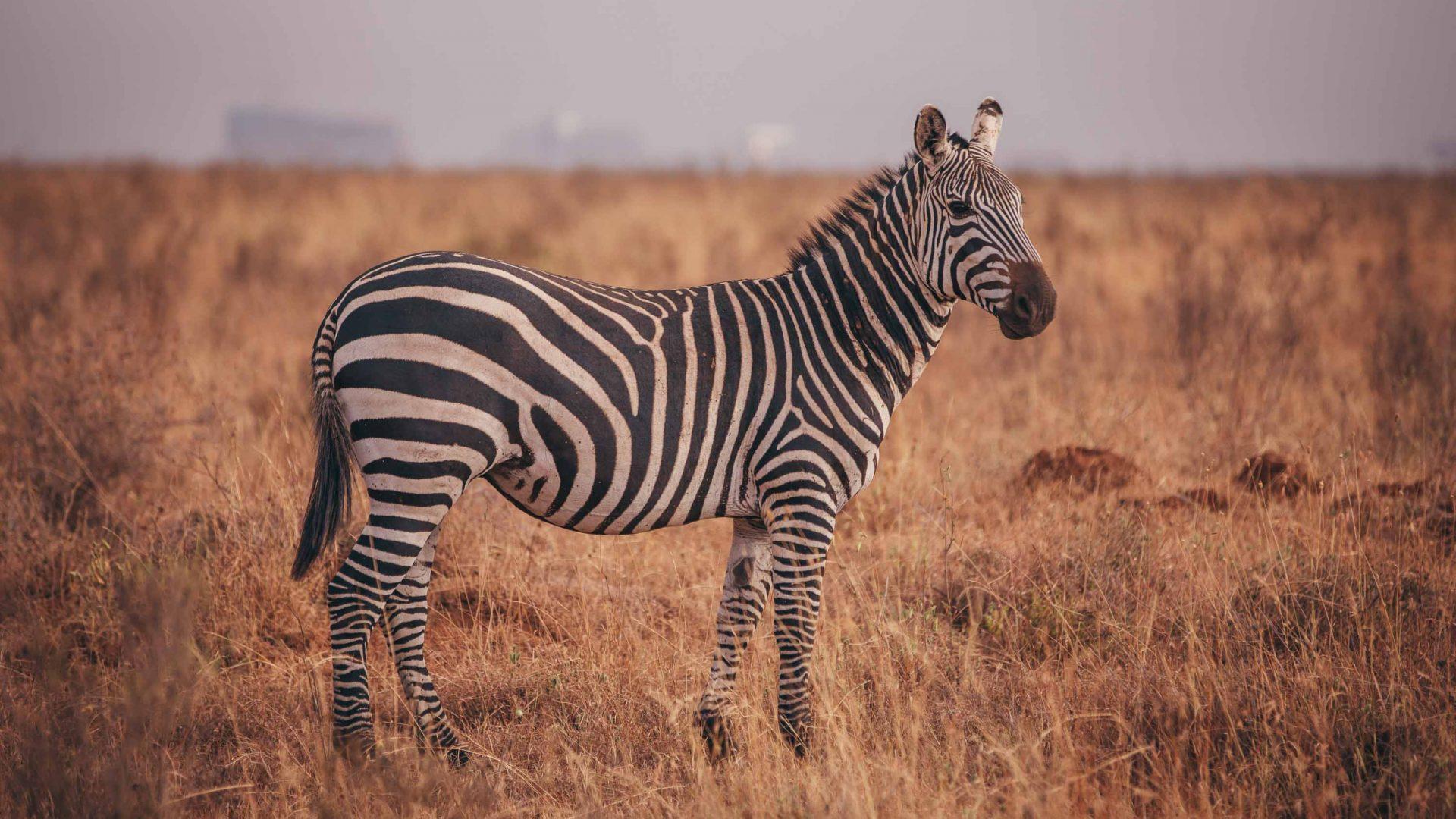 A zebra seen during a game drive in Kenya.