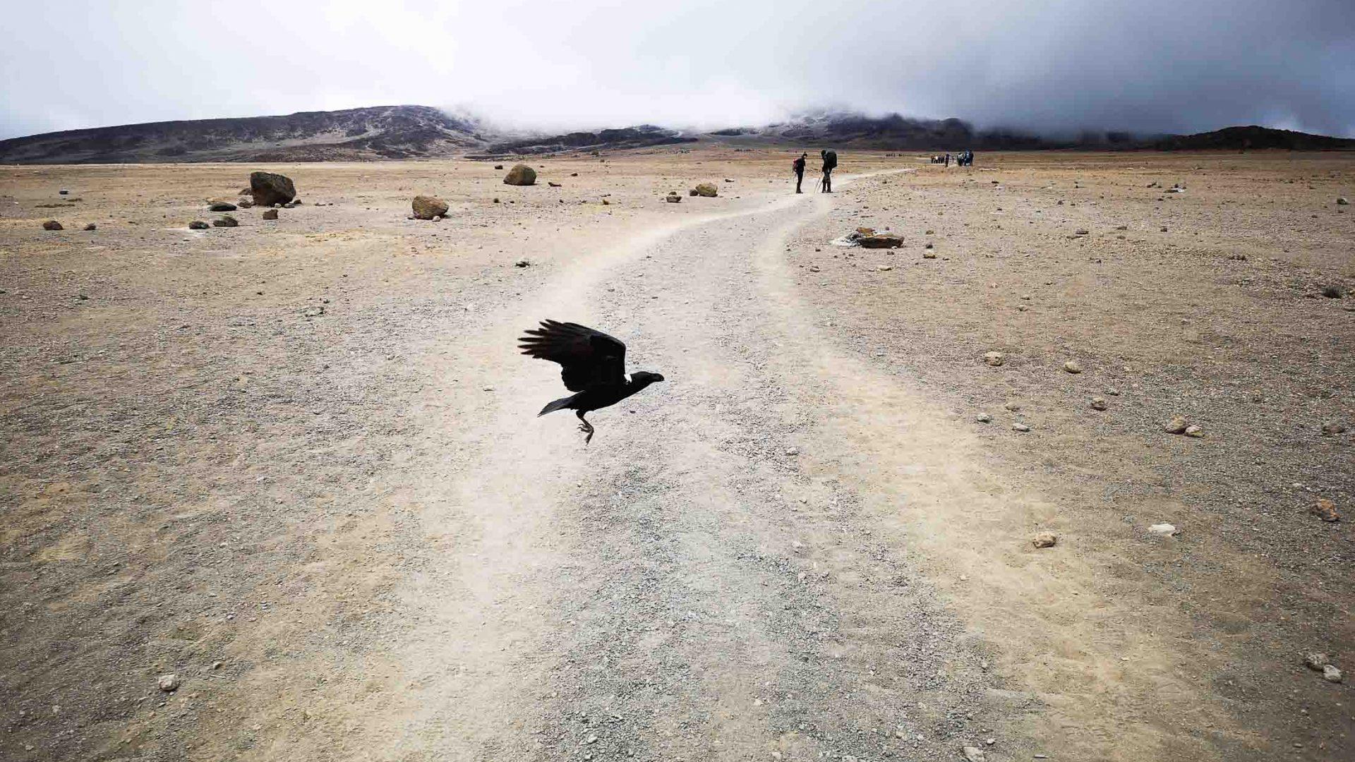 A bird flies across Kilimanjaro's Rongai Route.