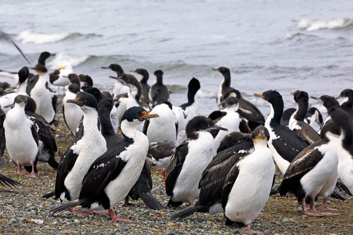 King Cormorants in Punta Arenas, a city on the edge of the Strait of Magellan, Chile.