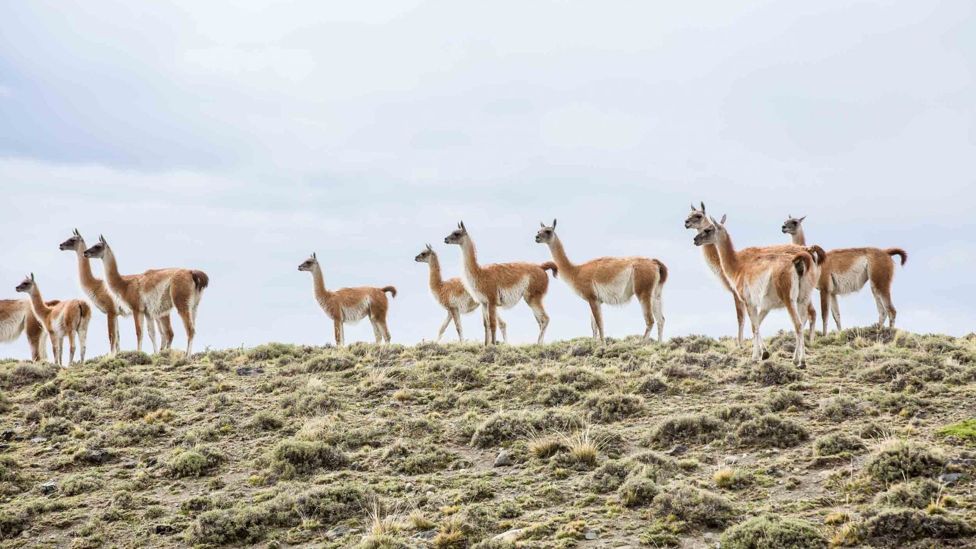 A herd of guanaco, one of the two wild South American camelids, in Torres del Paine, Chile.