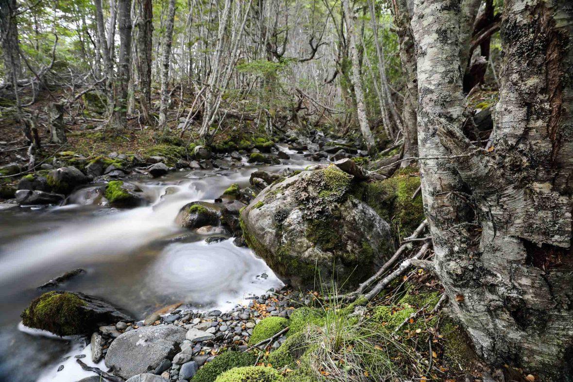A creek runs through native forest in Tierra del Fuego.