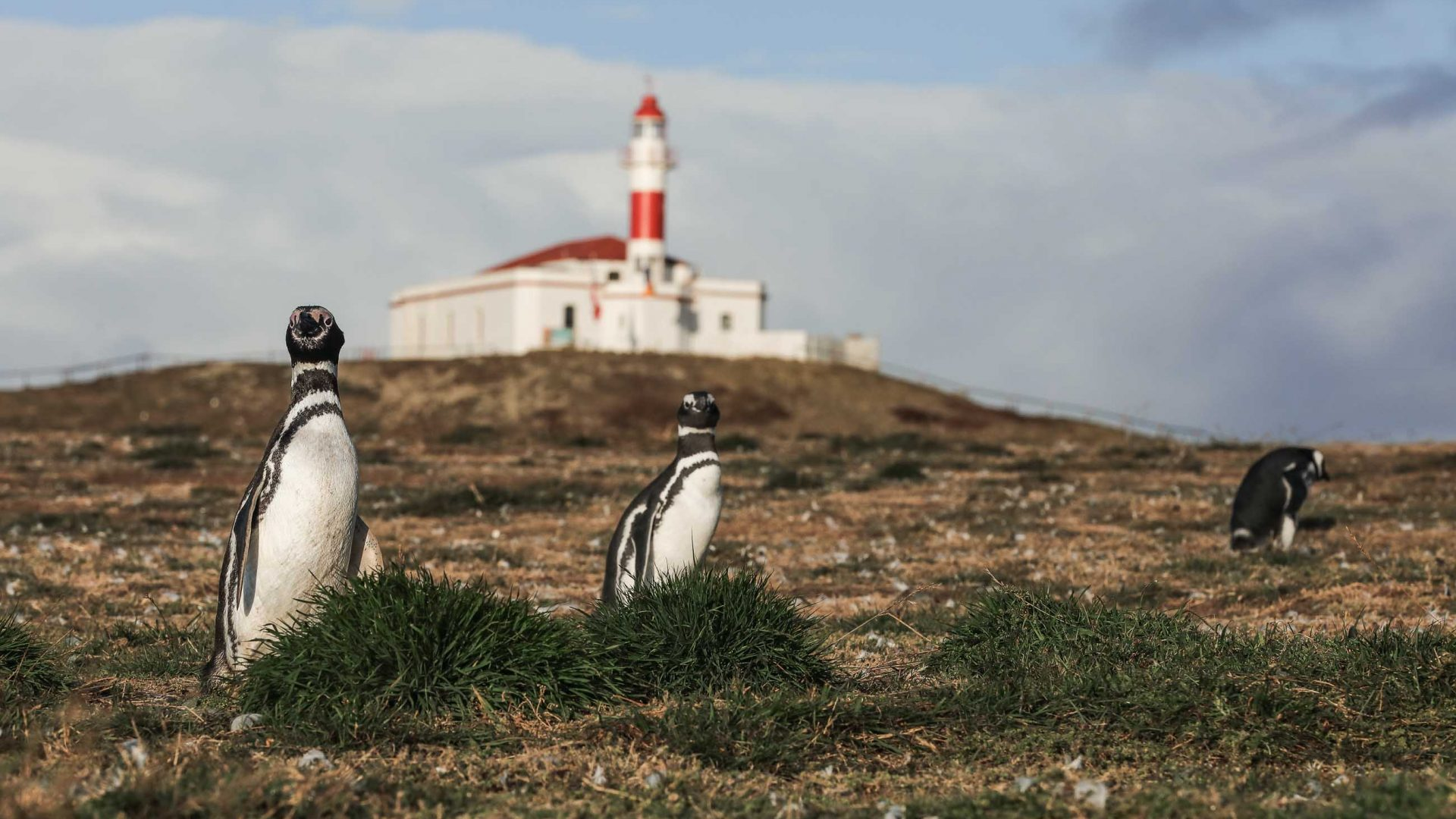 Magellanic Penguins at Isla Magdalena with a red and white lighthouse in the background.