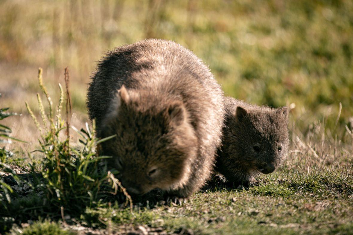 Wombats on Maria Island.