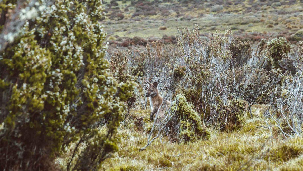A kangaroo among shrubs.