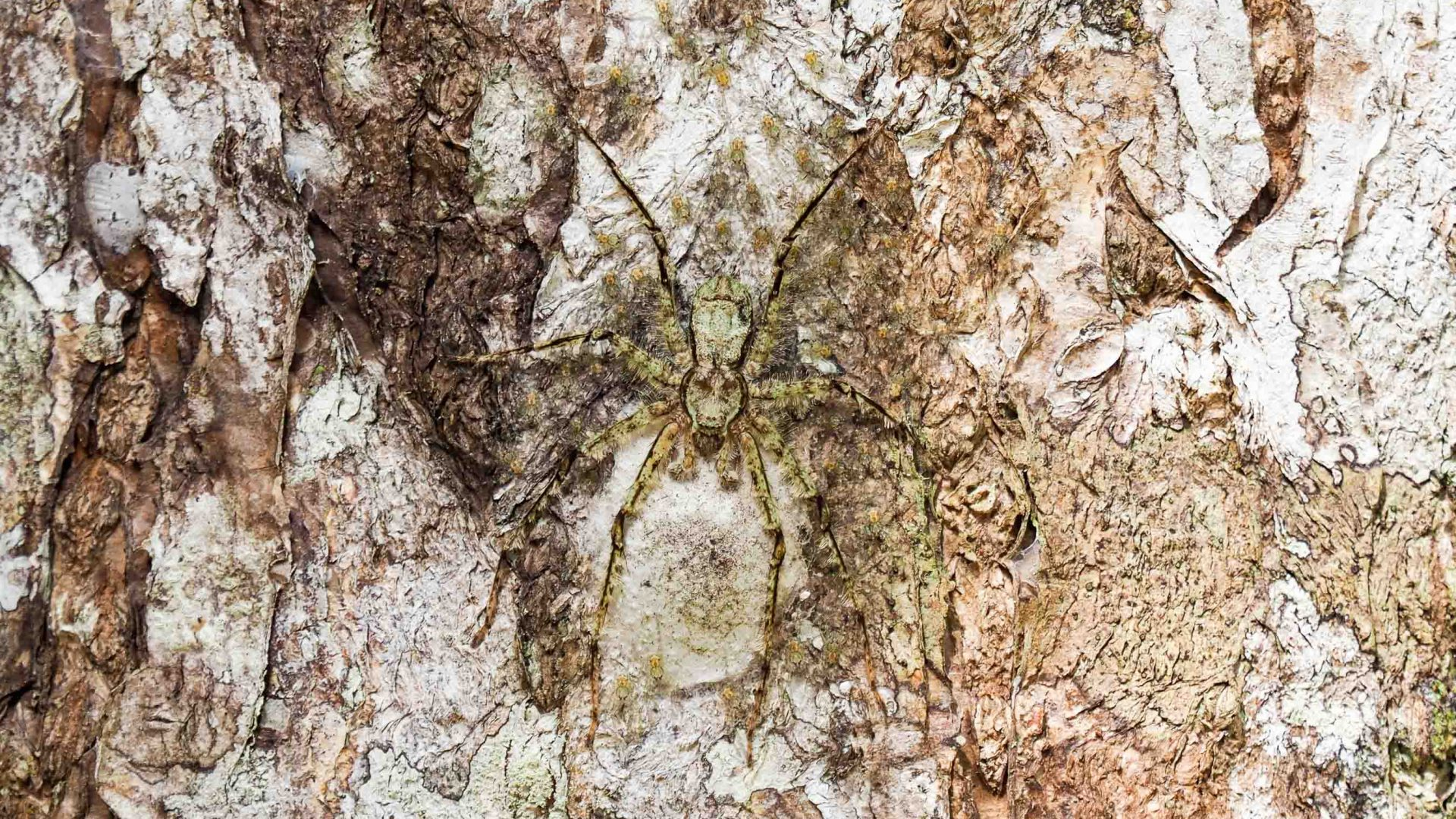 A spider that looks like tree bark.