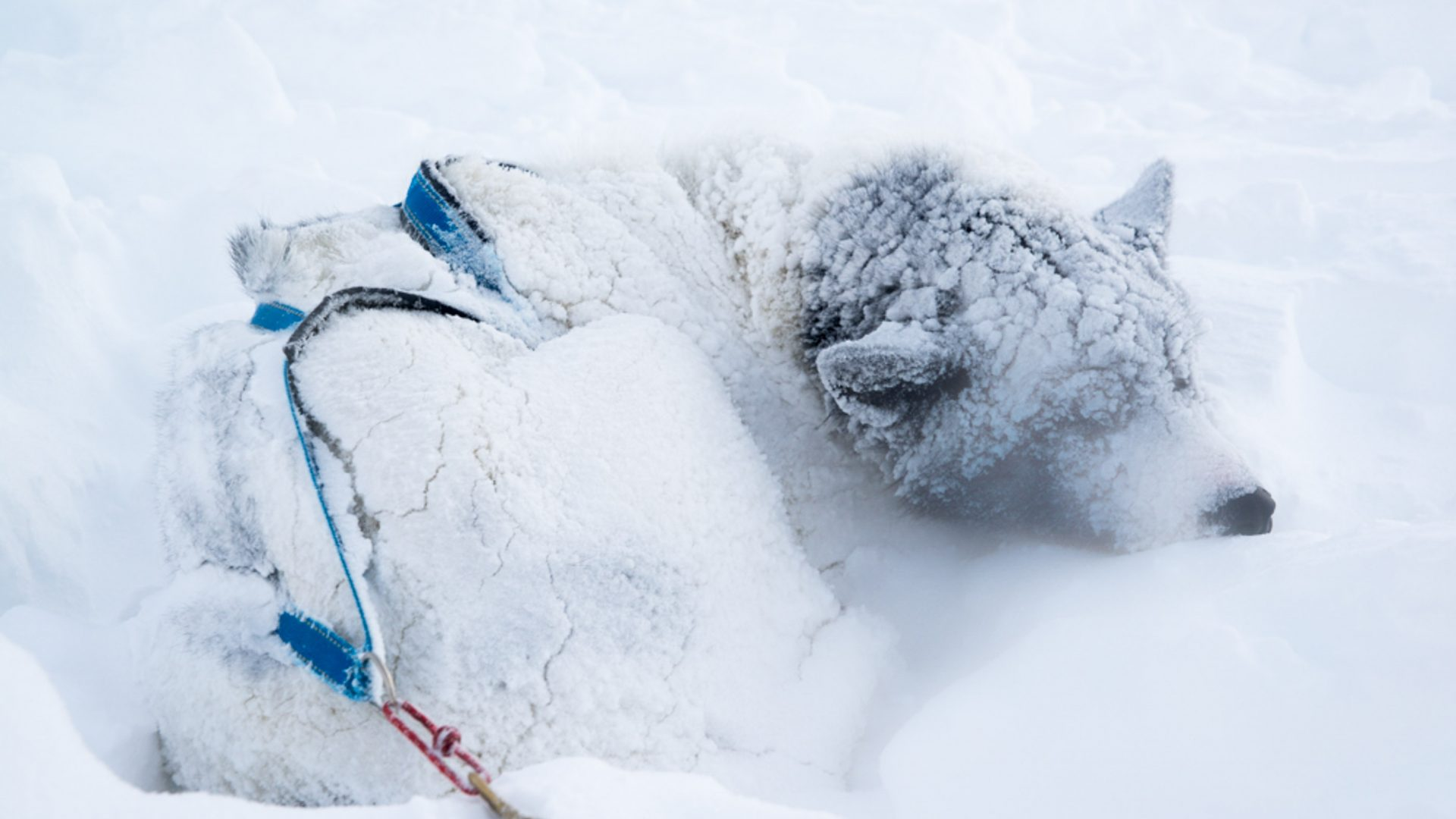 A snow covered dog.