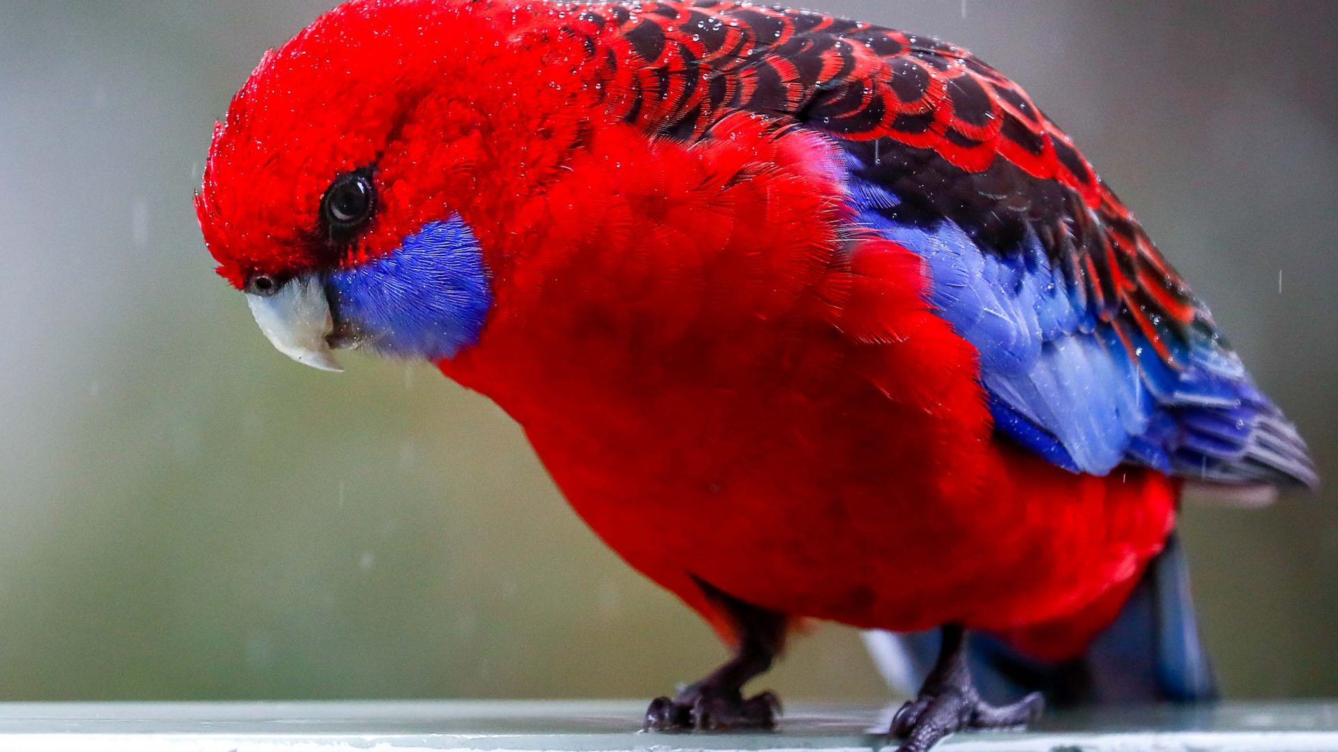 A red and blue bird.