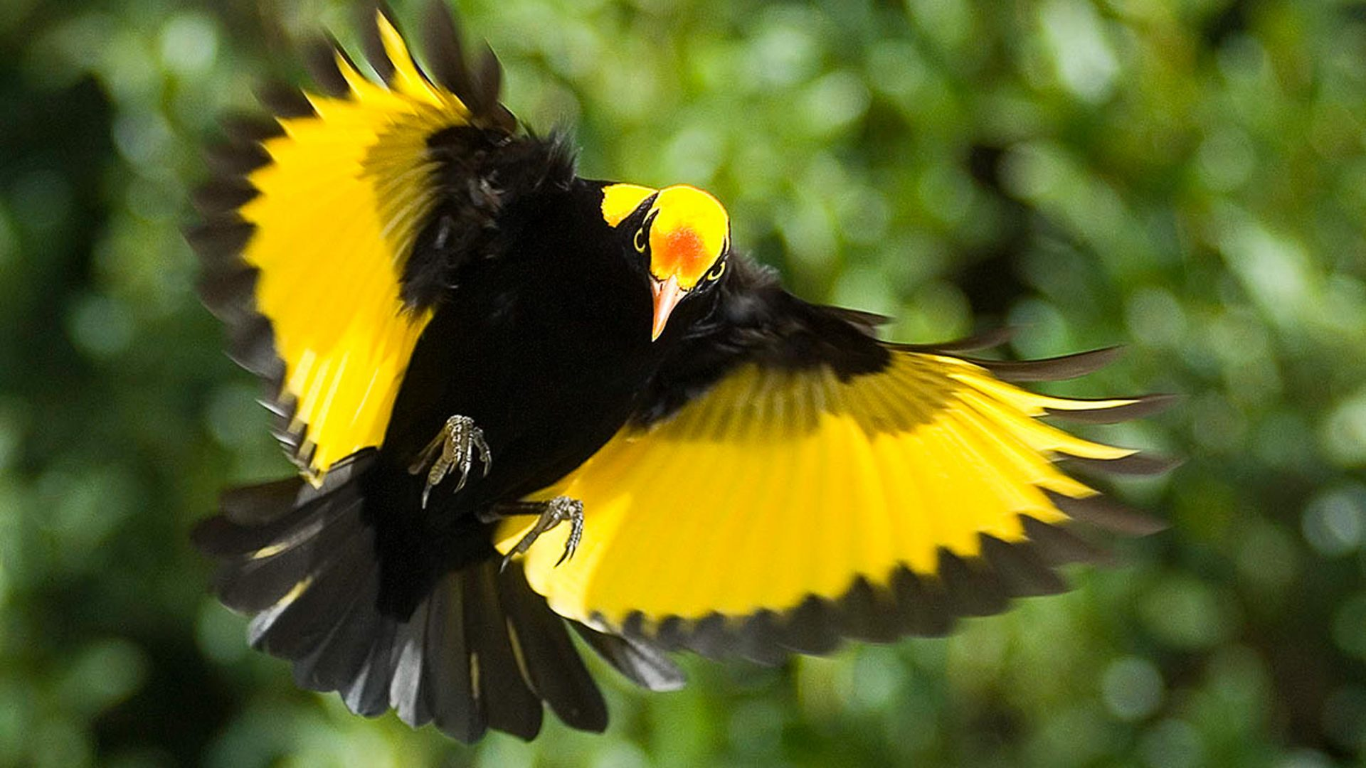 Yellow and black bird with wings outstretched.