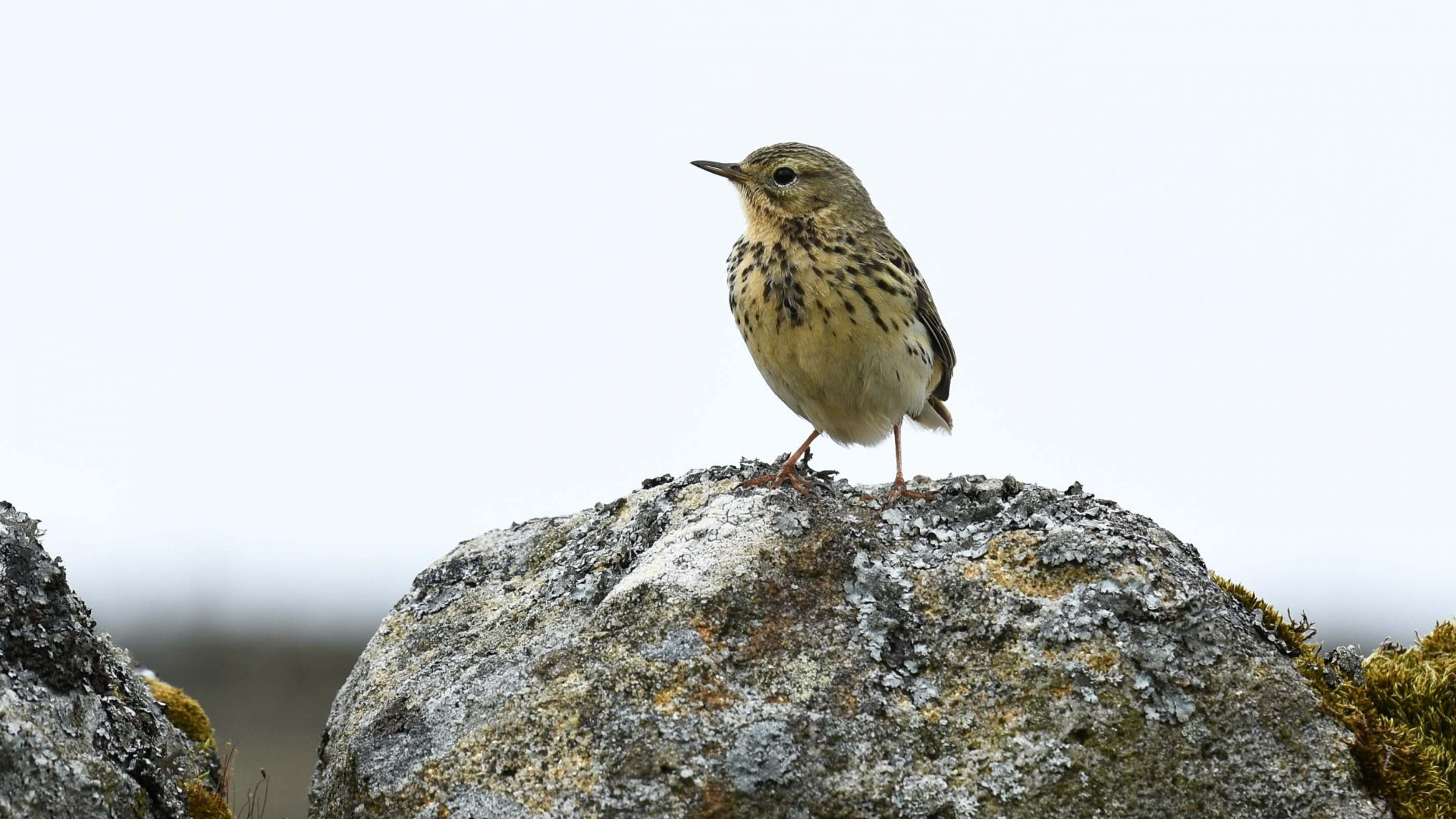 A meadow pipit