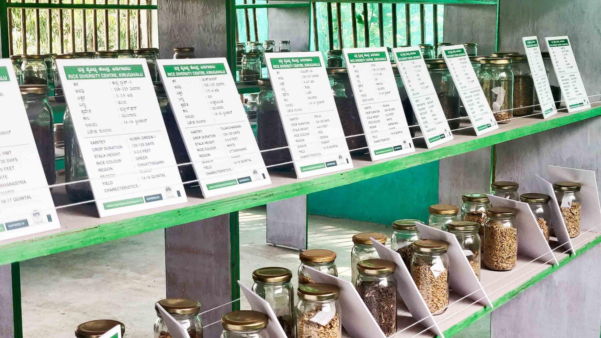 Inside Syed Ghani Khan's Rice Diversity Center.
