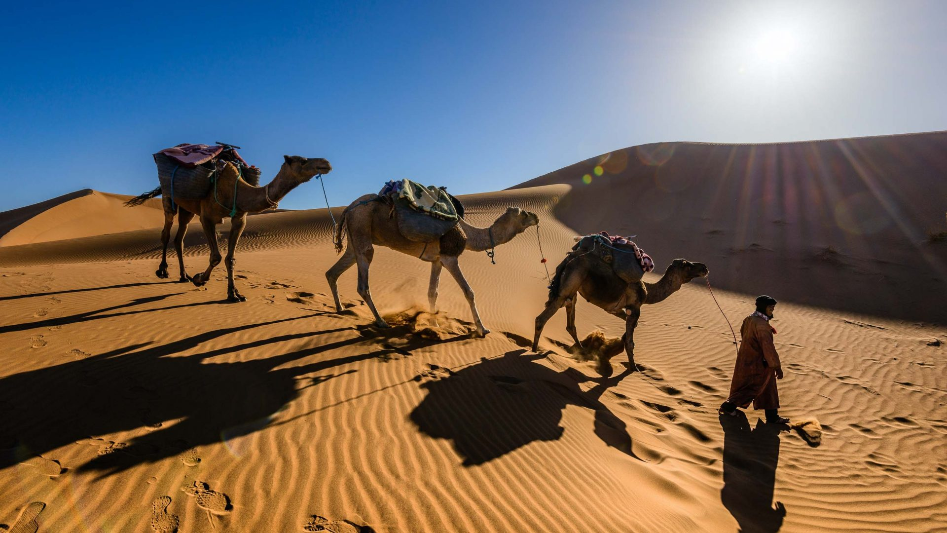 Camels cross the sand of the Sahara.