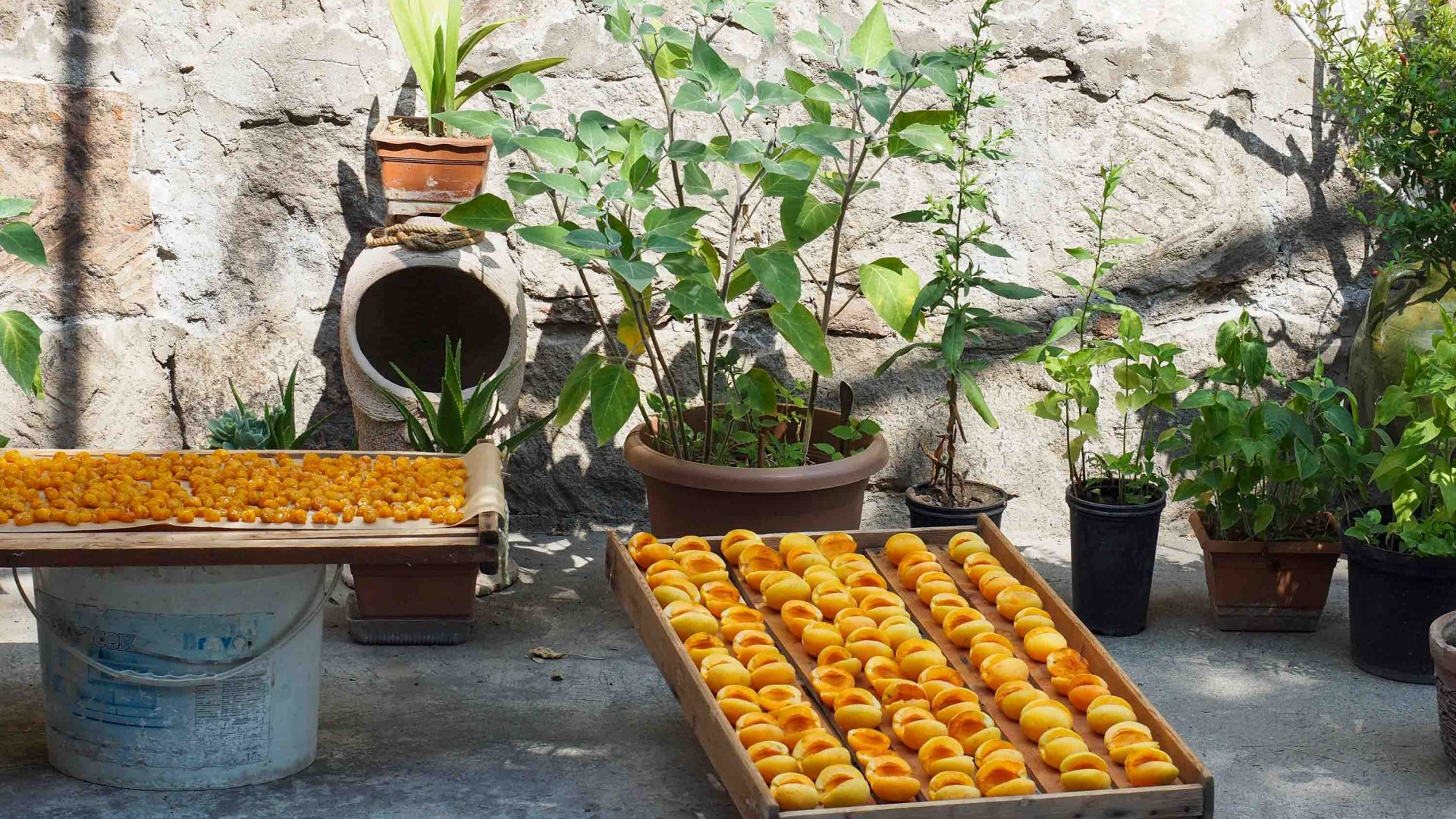 Apricots lie in rows drying.