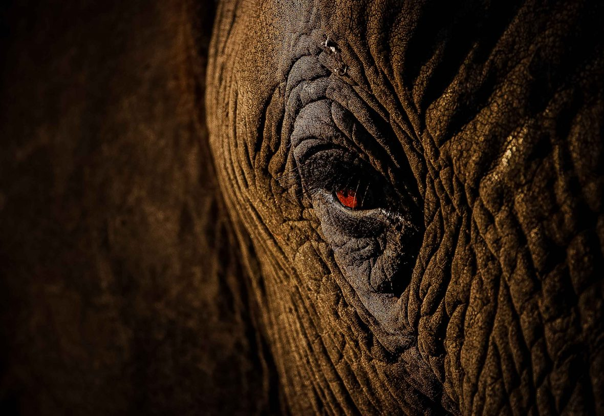 A close-up of an African elephant