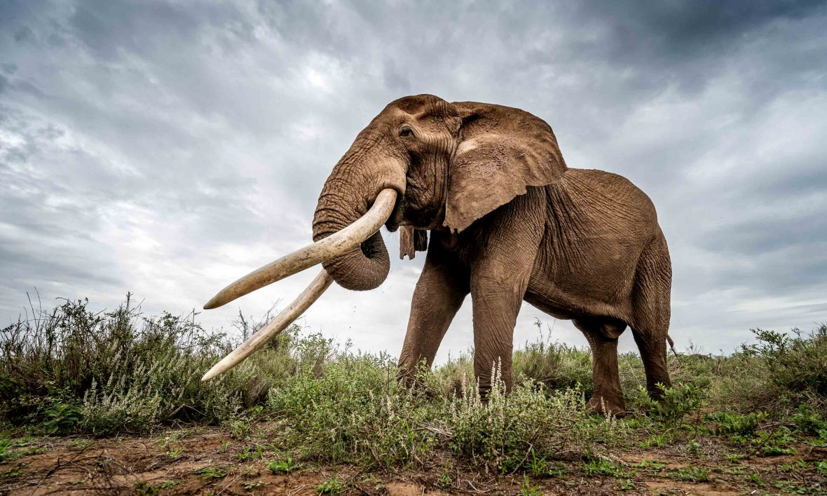 Demand for ivory is the main cause of elephant poaching,