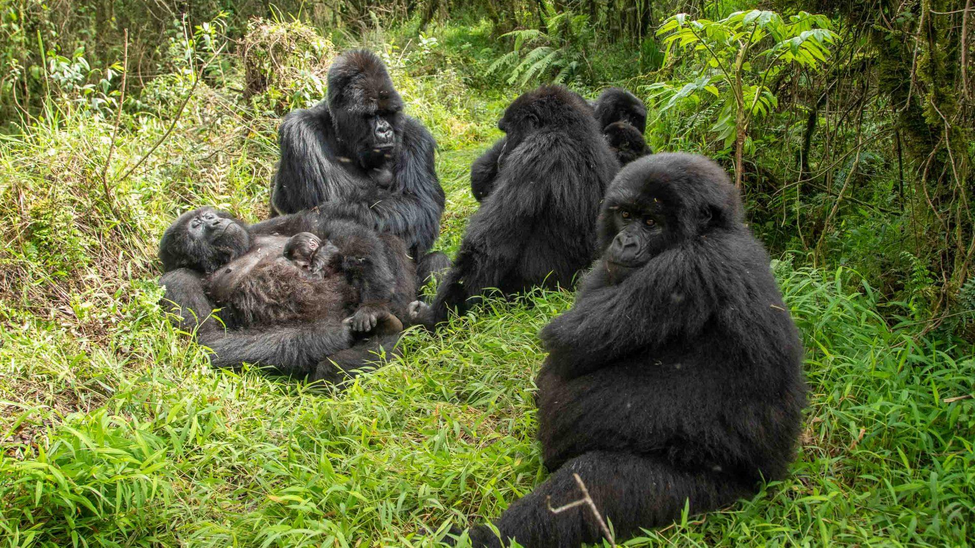 Mountain gorillas are found in Rwanda, Uganda and the Democratic Republic of Congo.