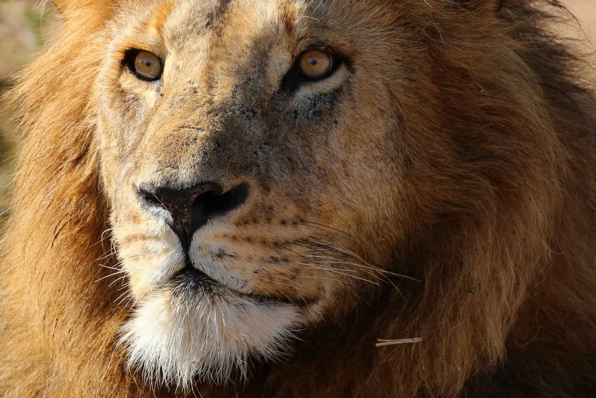 A lion, one of the animals voted into the New Big 5.