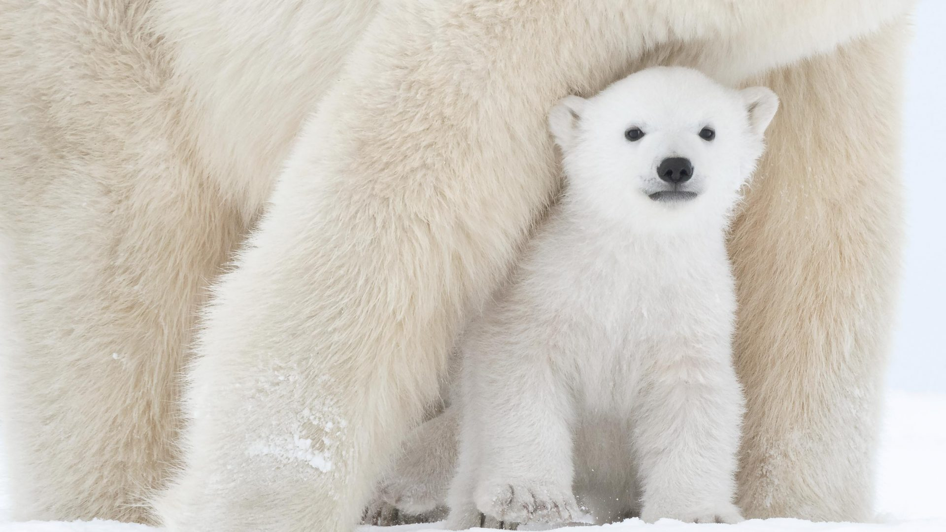 Habitat loss, climate change and pollution are all factors affecting polar bear populations.