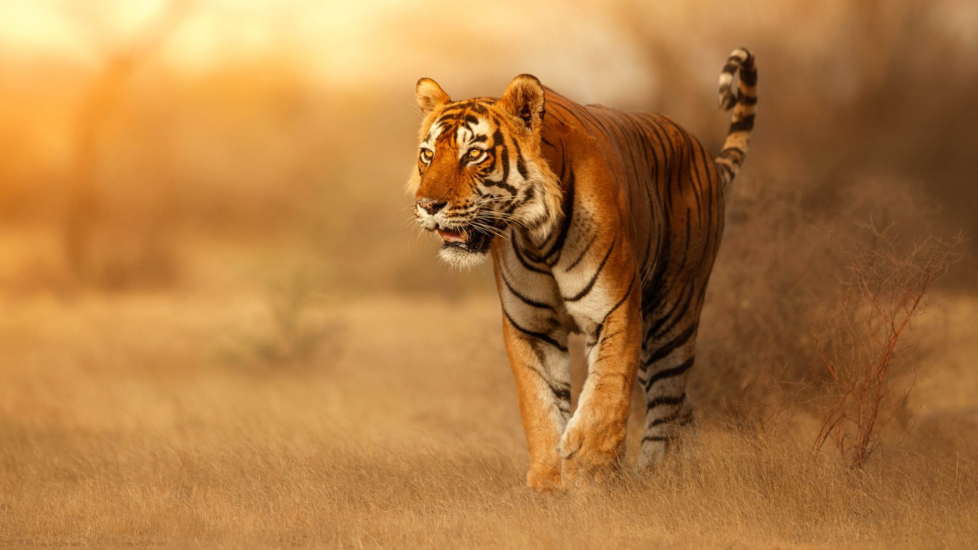 A tiger, one of the animals selected for the New Big 5.