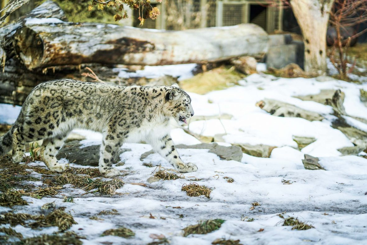 A snow leopard in the snow.